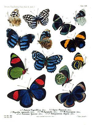 Nymphalidae - Image: Novara Exp Zoologische Theil Lepidoptera Atlas Taf 53