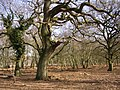 Oaks in their dotage at Rowbarrow, New Forest - geograph.org.uk - 140375.jpg
