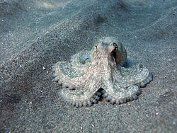 Octopus Vulgaris.jpg