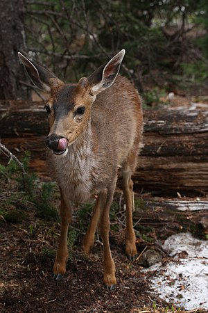 Black-tailed deer - Male black-tailed deer (Olympic National Park)