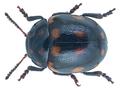 Oidosoma ornatum (Baly) (26323592741).png