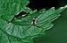 Oligolophus tridens qtl1.jpg