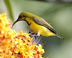 Olive-backed Sunbird (Cinnyris jugularis) eclipse - Flickr - Lip Kee.jpg