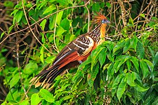 On the Rio Tambopata…the Hoatzin, the world's weirdest bird (8445837318).jpg