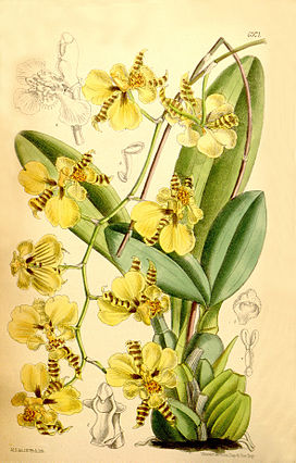Oncidium micropogon.jpg