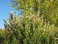 Ononis spinosa subsp. spinosa sl2.jpg