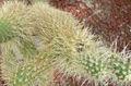 Opuntia bigelovii2.jpg