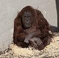 Orangutan 5d (5512648094).jpg