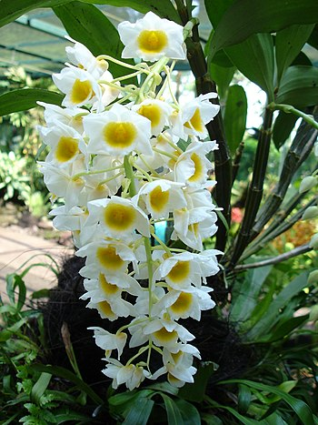 orchid (Singapore botanical gardens)