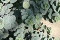 Origanum tournefortii 0zz.jpg