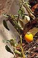 Orissa (solanum melongena) - Aubergine jaune.JPG