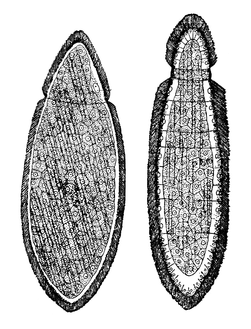 Rhopalura granosa. Males (m) and females (f) are indicated.