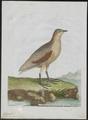 Ortygometra crex - 1790-1796 - Print - Iconographia Zoologica - Special Collections University of Amsterdam - UBA01 IZ17500079.tif