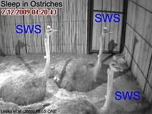 Fail:Ostriches-Sleep-like-Platypuses-pone.0023203.s003.ogv