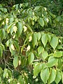 Ostrya virginiana BotGardBln07122011E.JPG