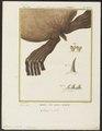 Otaria jubata - achterpoten - 1700-1880 - Print - Iconographia Zoologica - Special Collections University of Amsterdam - UBA01 IZ21100033.tif
