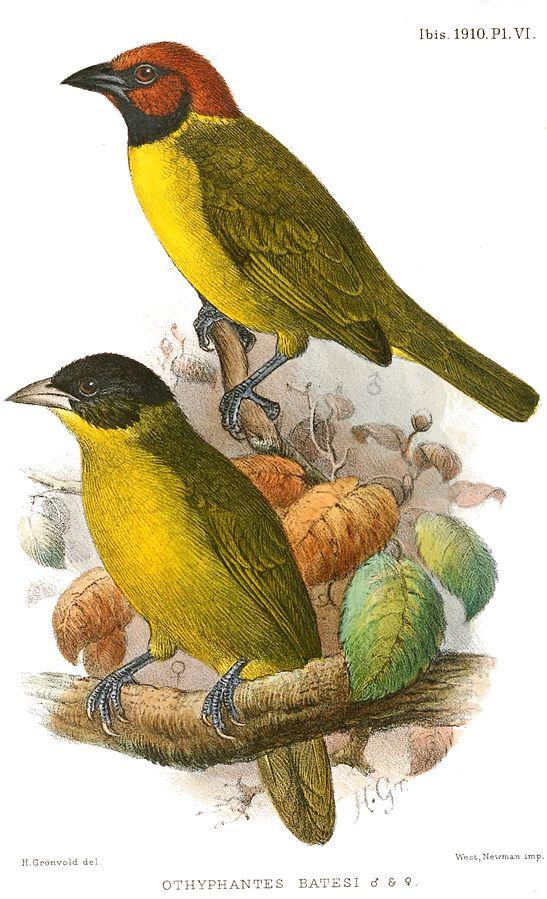 https://upload.wikimedia.org/wikipedia/commons/thumb/d/d6/OthyphantesBatesiGronvold.jpg/547px-OthyphantesBatesiGronvold.jpg
