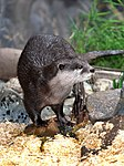 Otter waiting for dinner-1and (3524308629).jpg