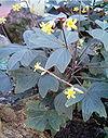 Oxalis ortgiesii BotGardBln1105HabitusLeavesFlowers