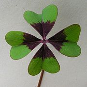Oxalis tetraphylla Iron Cross20090522 018