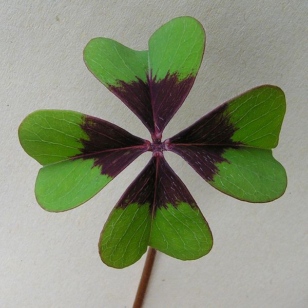 File:Oxalis tetraphylla Iron Cross20090522 018.jpg
