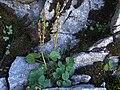 Oxyria digyna a1.jpg