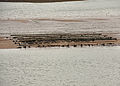 Oyster beds on the Teign.jpg