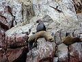 Pérou.- la réserve des Îles Ballestas (29).jpg