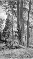 Beeches in Delhoved Forest