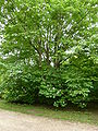 P1000654 Aesculus parviflora (Bottlebrush Buckeye) (Hippocastanaceae) Plant.JPG