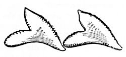 PSM V04 D077 Shark teeth.jpg