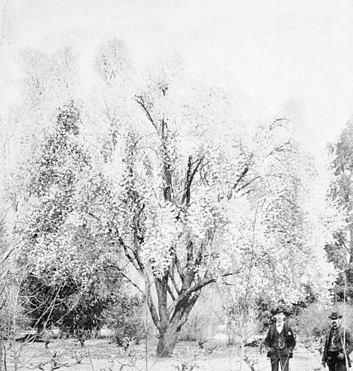 PSM V44 D215 Almond tree in february at rancho chico.jpg
