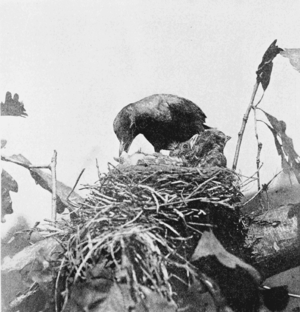 English: Female robin cleaning the nest