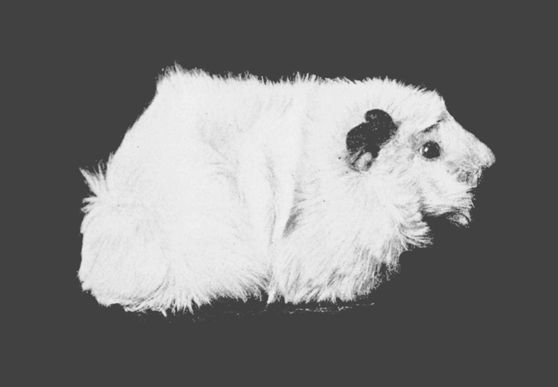 File:PSM V67 D209 Short haired rough albino guinea pig.png