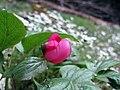 Paeonia mascula ssp. russi (Paeoniaceae).jpg