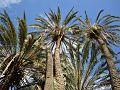 Palmes du village de Menâa (Wilaya de Batna).jpg