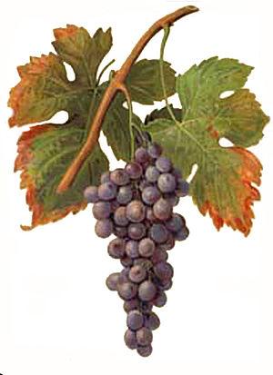 Palomino (grape) - Image: Palomino Viala et Vermorel