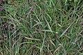 Panicum virgatum Shenandoah 9zz.jpg
