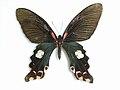 Papilio alcmenor C. & R. Felder, -1864-.JPG
