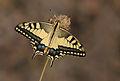 Papilio machaon - Swallowtail.jpg