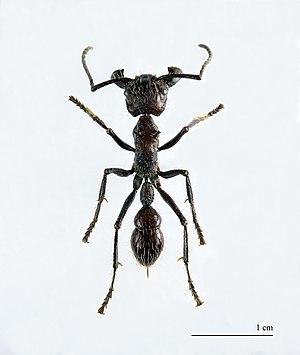 Paraponera clavata - Paraponera clavata – museum specimen