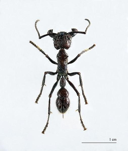 Ficheiro:Paraponera clavata MHNT.jpg