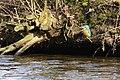Park Cronesteyn IJsvogel (Alcedo atthis), crop (32504026584).jpg