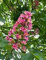 Park Villa Hügel Rosskastanie Blüte 1.jpg