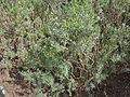 Parolinia glabriuscula - habitus.jpg