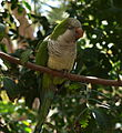 Parrot with closed eyes.jpg