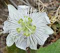 Passiflora foetida W2 IMG 0564.jpg