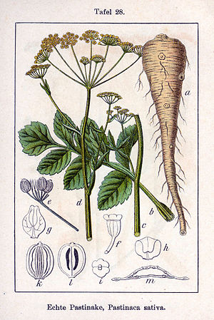 Parsnip - Illustration from Johann Georg Sturm's 1796 Deutschlands Flora in Abbildungen
