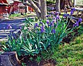 Patch of Iris, Oak Glen, CA 4-13 (15542102580).jpg