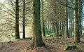 Path, Castlewellan Forest Park - geograph.org.uk - 1247294.jpg